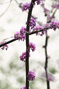All - Redbud Cross by Tom Wurl