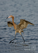 Reddish Egret Doing Fishing Dance Print by Anthony Mercieca