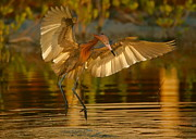 Myrna Bradshaw - Reddish Egret in golden...
