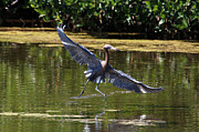 John Rowe - Reddish Egret Solo Dancer