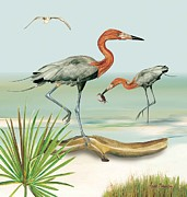 Anne Beverley - Reddish Egrets Fishing