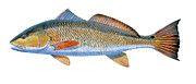 Striped Bass Paintings - Redfish by Carey Chen
