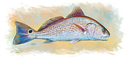 Fish In Ocean Framed Prints - Redfish Illustration Framed Print by Mike Savlen