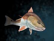 Redfish Inspection Print by Hayden Hammond
