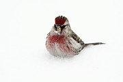 Alex Sukonkin - Redpoll in snow