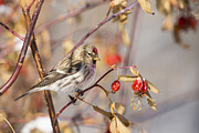 Adult Framed Prints - Redpoll in the Rose Bush Framed Print by Tim Grams