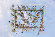 Crossbill Art - Redpols and Blue Skies by Tim Grams
