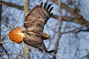Bird In Flight Prints - Redtail Hawk Print by Bill  Wakeley