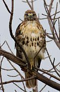 Red Leaves Photo Originals - Redtail Hawk in a tree by Michel Soucy