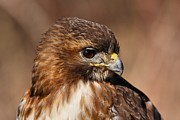 Red Tail Hawk Art - Redtail Portrait by Mike Farslow
