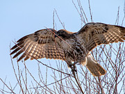 Tim Moore Metal Prints - Redtail Wings Metal Print by Tim Moore