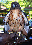 Jennifer Muller - Redtailed Hawk On...