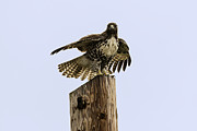 Tim Moore - Redtailed Hawk Pose