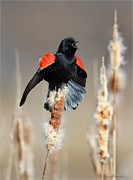 Blackbird Pyrography Metal Prints - Redwing Blackbird displaying Metal Print by Daniel Behm