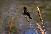 Michel Soucy Photos - Redwing Blackbird by Michel Soucy