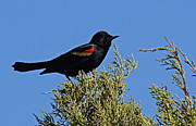 Paul  Wilford - Redwinged Blackbird