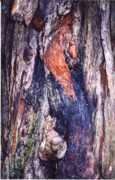 Avenue Of The Giants Prints - Redwood Burl Print by Mary Bedy