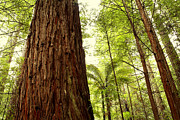 Tall Trees Photos - Redwood forest by Les Cunliffe