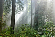 Redwood Forest With Sunbeams Print by Inga Spence