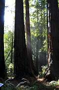 San Francisco Giant Prints - Redwood Sun Rays  Print by Aidan Moran