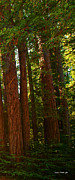 Redwood Wall Mural Panel Three Print by Artist and Photographer Laura Wrede