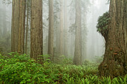 Damnation Photo Prints - Redwoods in the Mist Print by Stuart Gordon