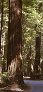 Road Digital Art - Redwoods by Mike McGlothlen