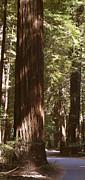 Redwoods Print by Mike McGlothlen
