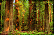 Avenue Of The Giants Prints - Redwoods - The Grove at Sunset Print by David Rigg