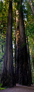 Loree Johnson Posters - Redwoods Vertical Panorama Poster by Loree Johnson