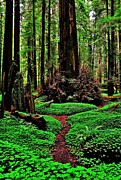 Splitting Prints - Redwoods Wonderland Print by Benjamin Yeager