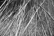Reed Bed Prints - Reed Print by Chevy Fleet