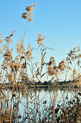 Reed Grasses By A Lagoon  Print by Tetyana Kokhanets