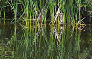 Lynn Hansen - Reeds Reflected in River