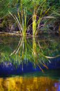 Body Of Water Framed Prints - Reeds Reflecting On The Water St Framed Print by Corey Hochachka