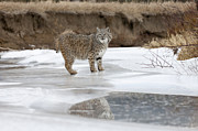 Lynx Rufus Prints - Reflected Glance Print by Robert Weiman