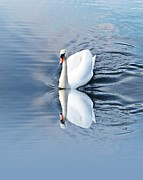 Swans... Prints - Reflected grace Print by Sharon Lisa Clarke