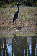 Marykzeman Framed Prints - Reflected Heron Framed Print by Mary Zeman