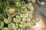 Conway Arkansas Prints - Reflected Light upon Flowering Water Lilies Print by Jason Politte