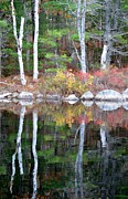 Reds Of Autumn Photo Originals - Reflecting Birches by Lena Hatch