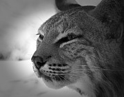 Reflecting Bobcat... Print by Christena  Stephens