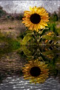 Yeloow Framed Prints - Reflection of Sunflower Framed Print by Michelle Frizzell-Thompson