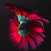 Photorealism Photo Prints - Reflection of the Gerbera Print by Jenny Hudson