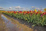 JPLDesigns - Reflection of Tulips