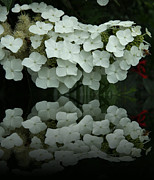 Christiane Schulze Digital Art Posters - Reflection Of White Hydrangea Poster by Christiane Schulze