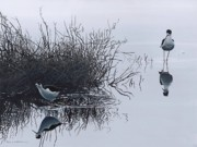 Shorebird Paintings - Reflections by Peter Mathios
