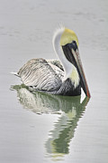 Waterfowl Framed Prints - Reflective Pelican Framed Print by Deborah Benoit