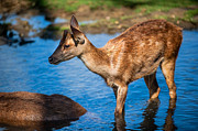Fine Art Photography Prints - Refreshing 1. Female Deer in Pamplemousse Botanical Garden. Mauritius Print by Jenny Rainbow