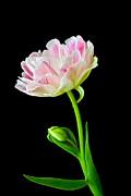 Byron Varvarigos - Refreshing Single Double Tulip