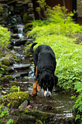 Greater Swiss Mountain Dog Prints - Refreshing Stream Print by Aaron Aldrich